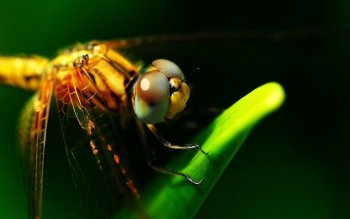 Animal - Dragonfly Wallpapers and Backgrounds ID : 367347