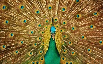 Animal - Peacock Wallpapers and Backgrounds ID : 367676