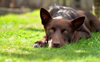 Animal - Kelpie Wallpapers and Backgrounds ID : 367885