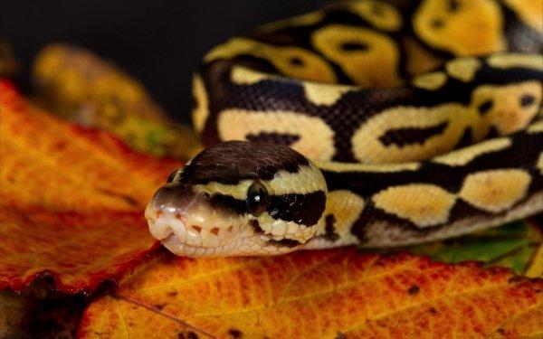Animal Snake Reptiles Snakes HD Wallpaper | Background Image
