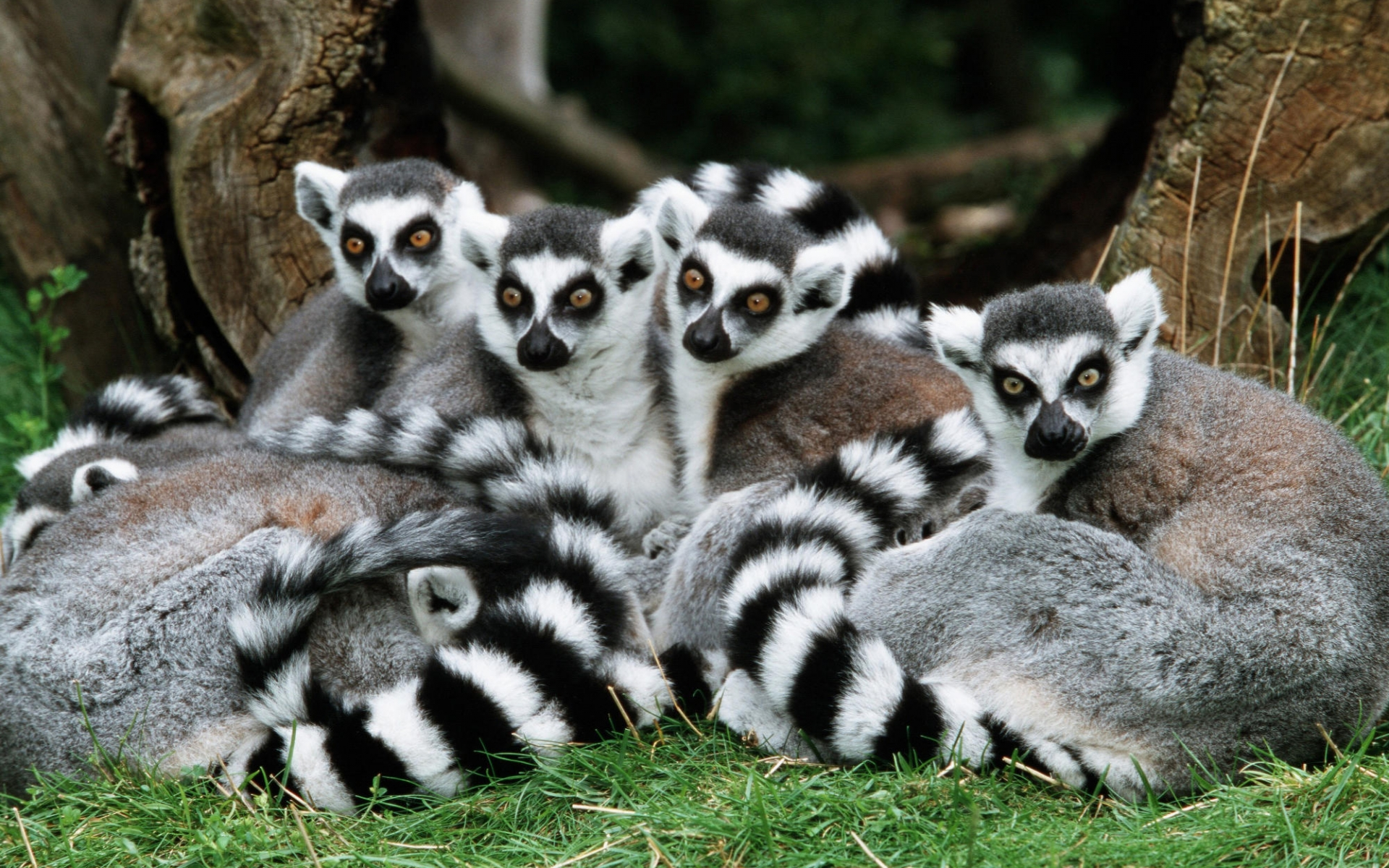 download wallpaper 3840x2160 lemur - photo #9