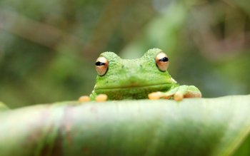 Animal - Tree Frog Wallpapers and Backgrounds ID : 368506