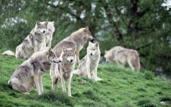 Animal - Wolf Wallpapers and Backgrounds ID : 368689