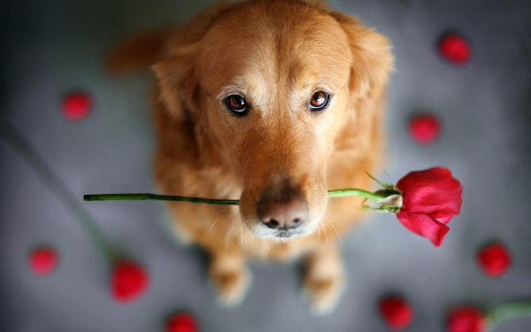 Animal Dog Dogs HD Wallpaper   Background Image