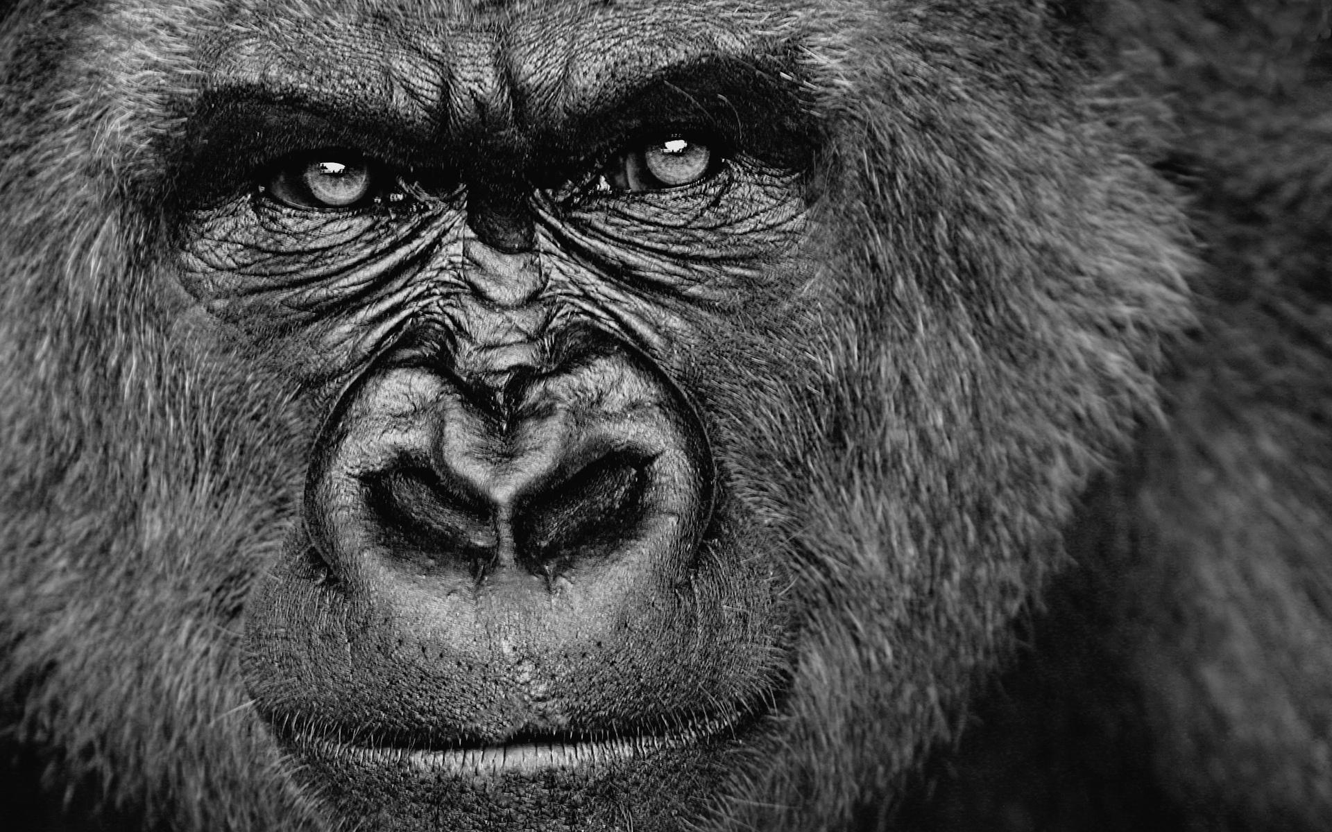 78 gorille fonds d 39 cran hd arri re plans wallpaper - Dessin d un gorille ...