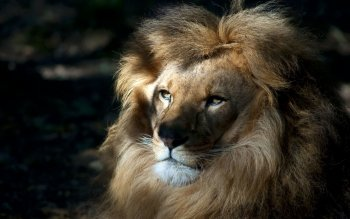 Animal - Lion Wallpapers and Backgrounds ID : 369261