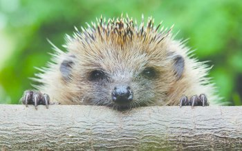 Animal - Hedgehog Wallpapers and Backgrounds ID : 369367
