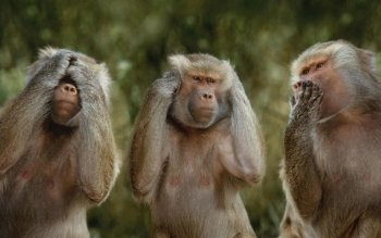 Animal - Monkey Wallpapers and Backgrounds ID : 371115