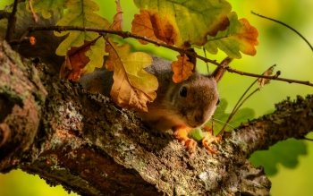 Animal - Squirrel Wallpapers and Backgrounds ID : 371515