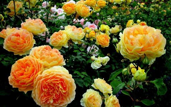 Earth Rose Bush Flowers Garden Close-Up Yellow Flower Shrub Flower Rose HD Wallpaper | Background Image