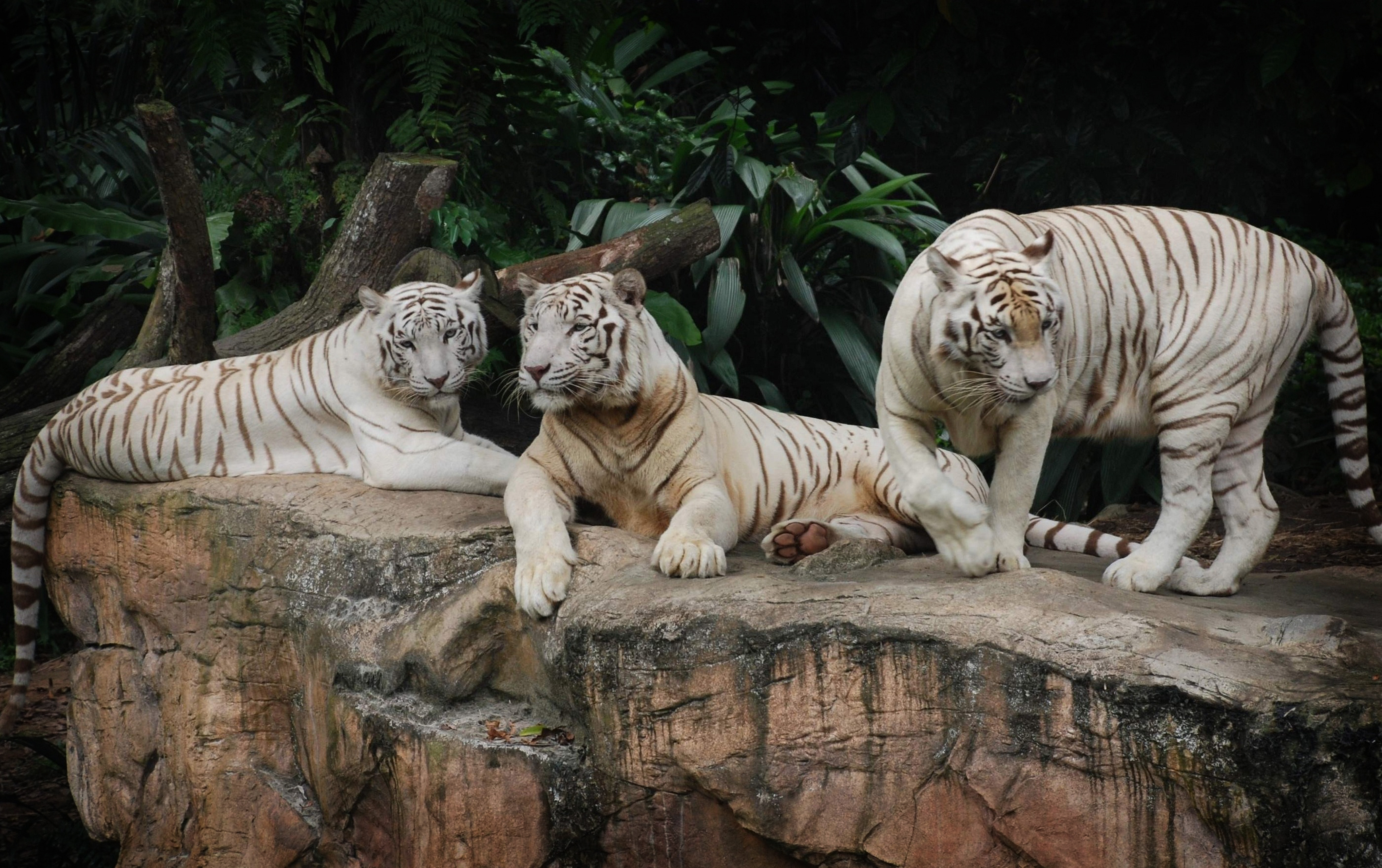 white tiger animal wallpaper - photo #11