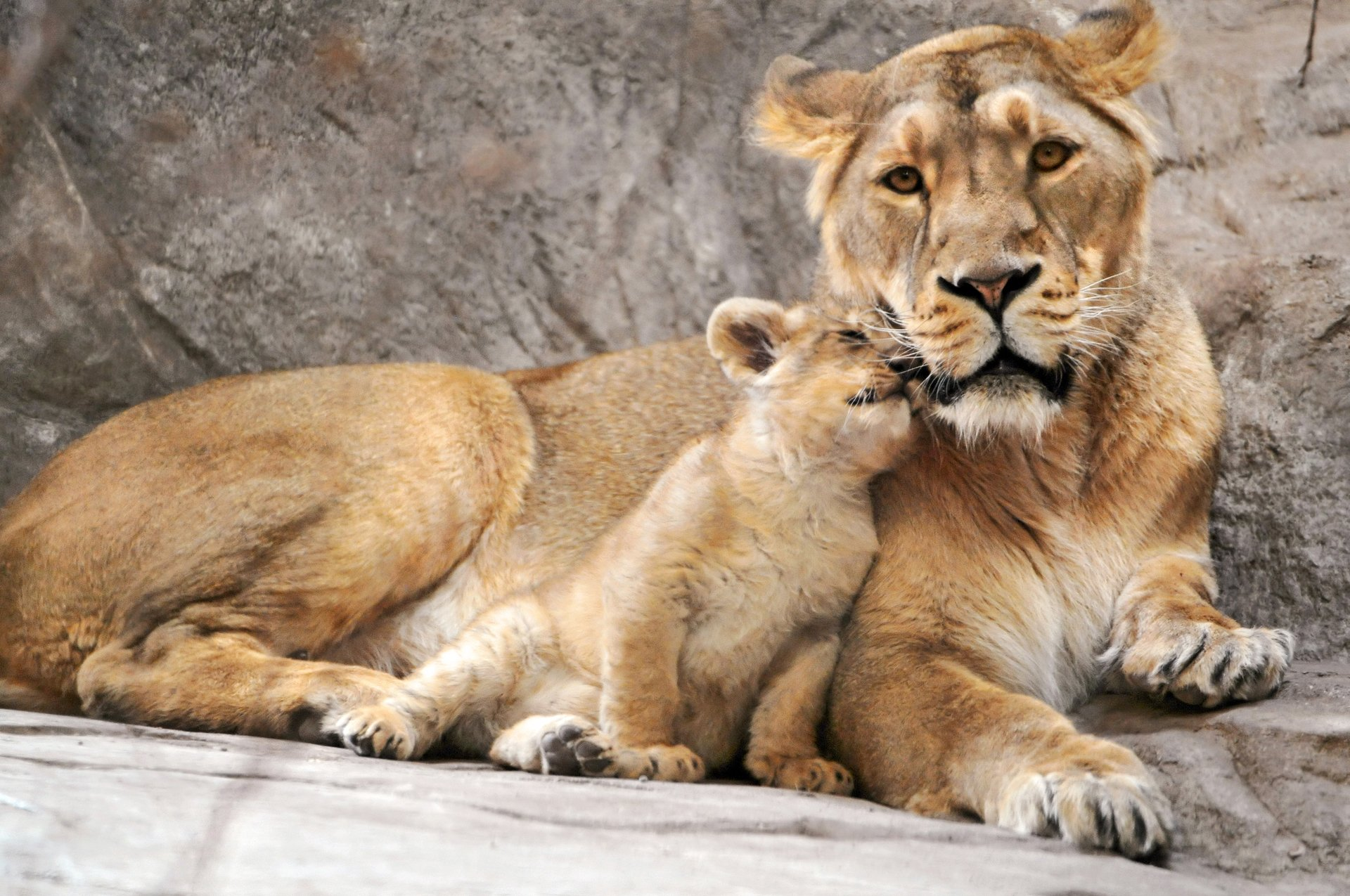 Animals Hd Wallpapers 2015 Funny Kissing Hugging Baby: Lion Full HD Fond D'écran And Arrière-Plan