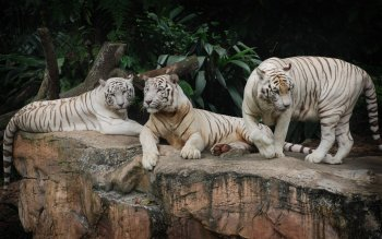 Dierenrijk - White Tiger Wallpapers and Backgrounds ID : 373576