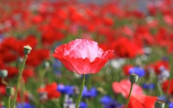 Earth - Poppy Wallpapers and Backgrounds ID : 374107