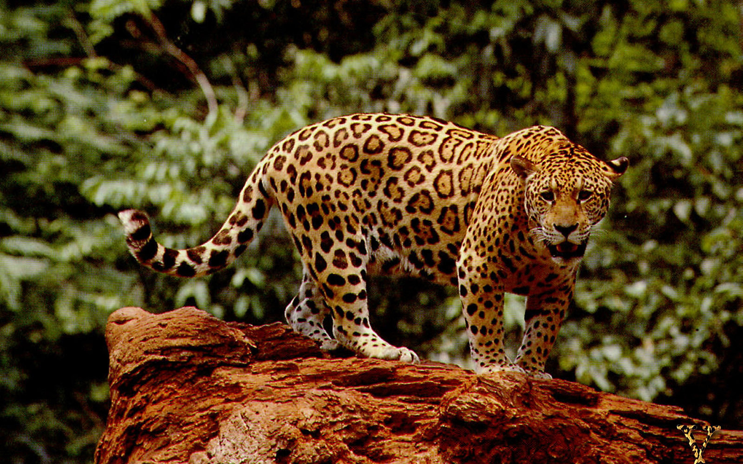 Jaguar Full HD Wallpaper And Background  2560x1600 ID
