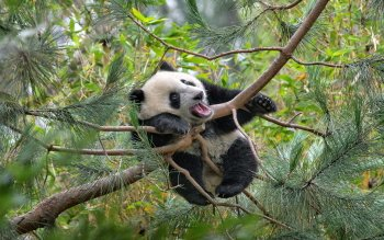 Animal - Panda Wallpapers and Backgrounds ID : 376059