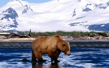 Animal - Brown Bear Wallpapers and Backgrounds ID : 376860