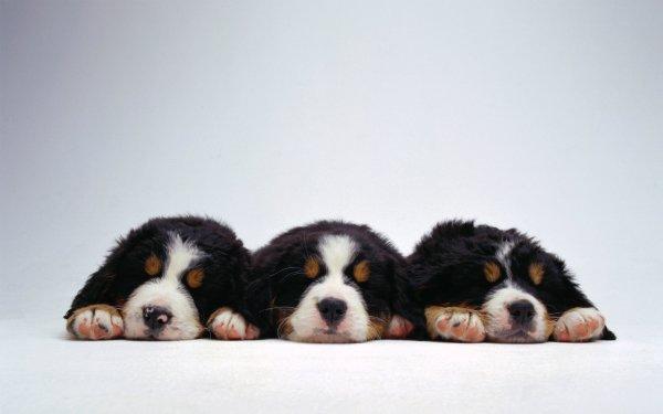 Animal Sennenhund Dogs Bernese Mountain Dog Dog Puppy HD Wallpaper | Background Image