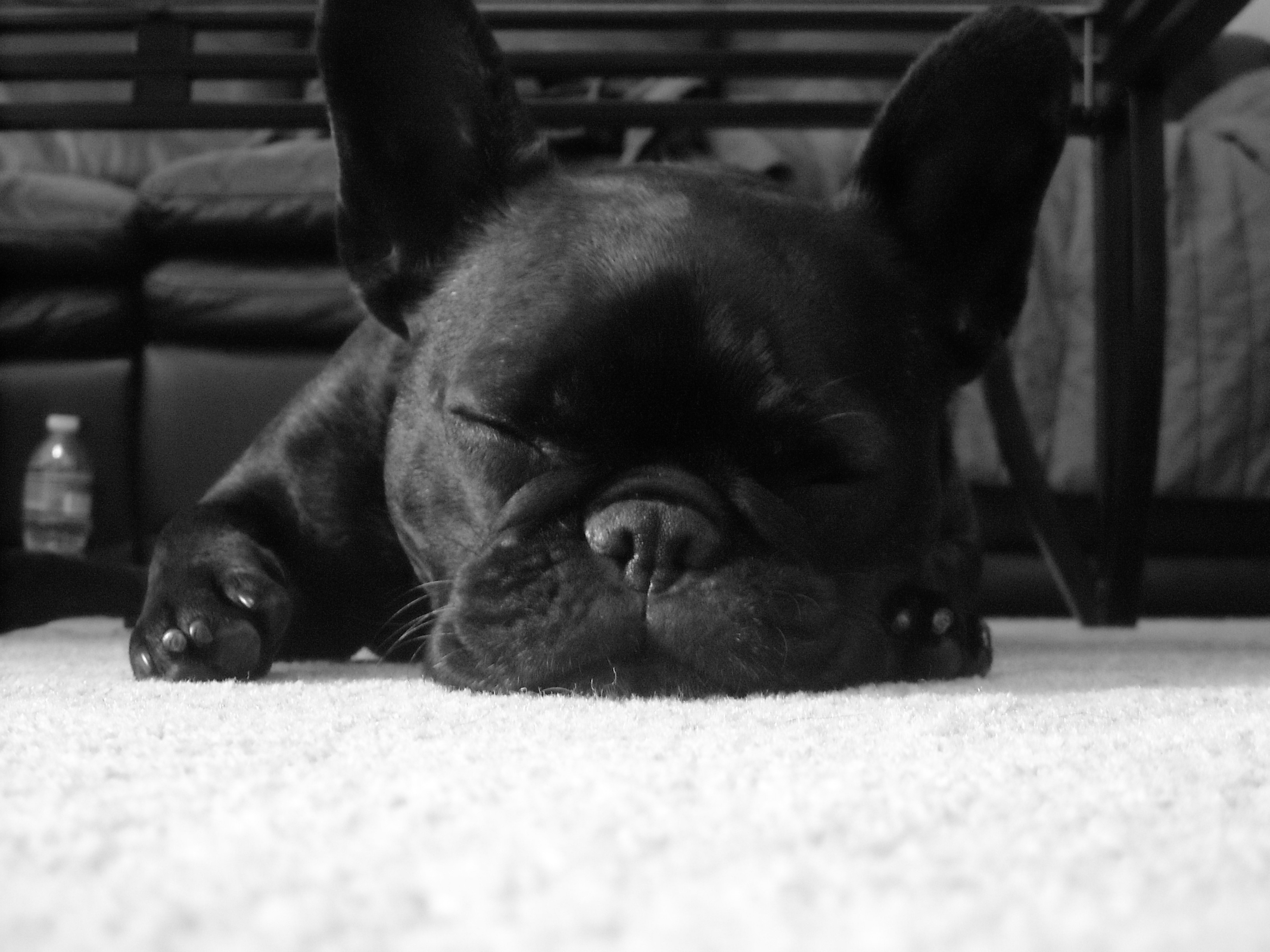 83 French Bulldog HD Wallpapers | Background Images ...