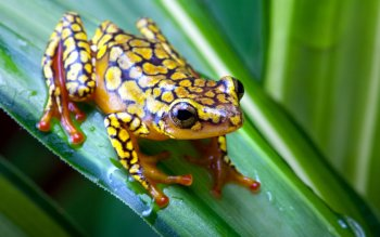 Animal - Harlequin Poison Dart Frog Wallpapers and Backgrounds ID : 379016