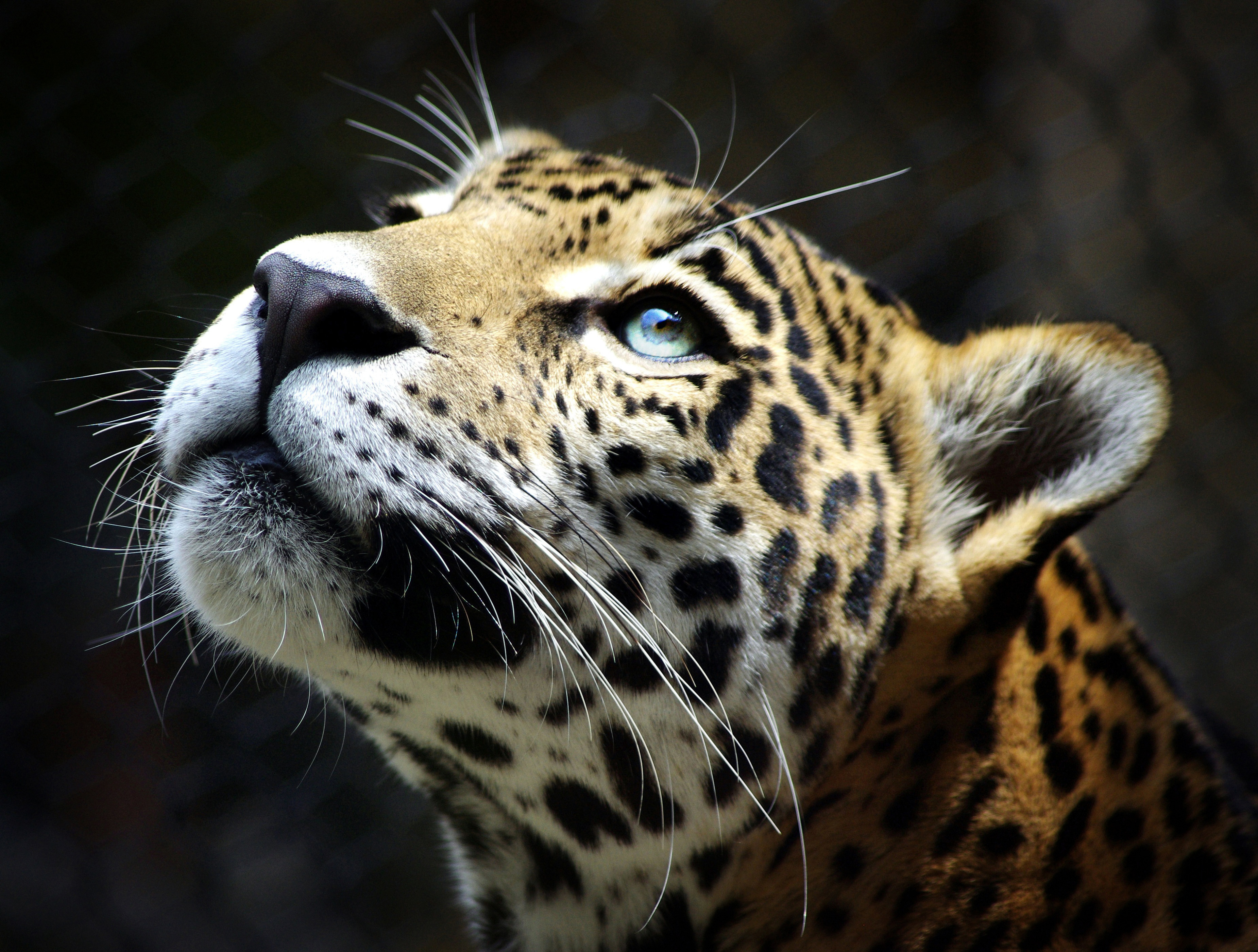 652 leopard hd wallpapers backgrounds wallpaper abyss - Animal black background wallpaper ...