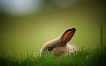 Animal - Rabbit Wallpapers and Backgrounds ID : 380902