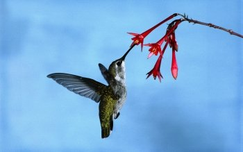 Animal - Hummingbird Wallpapers and Backgrounds ID : 380995