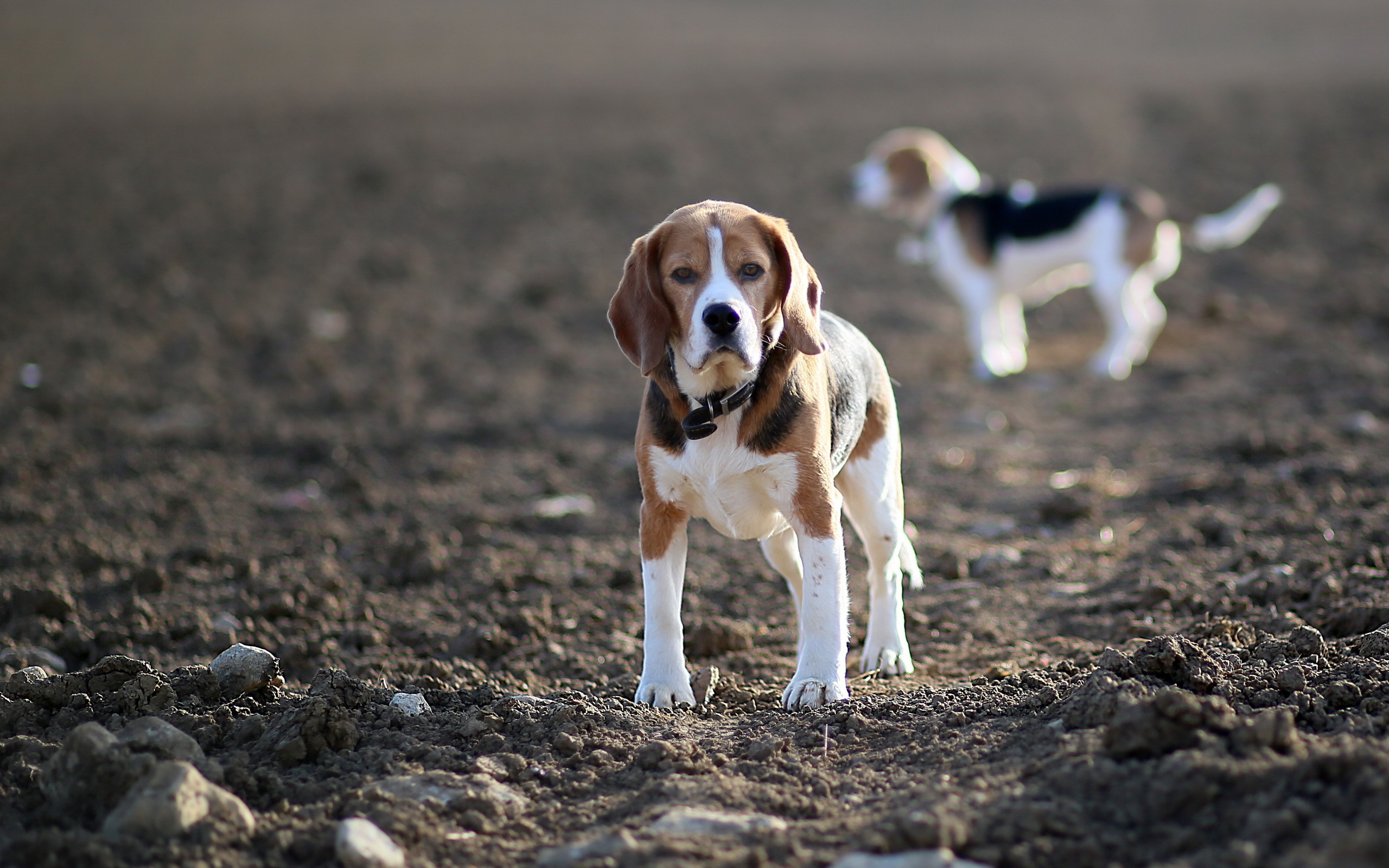 dog beagle guilty wallpapers - photo #15