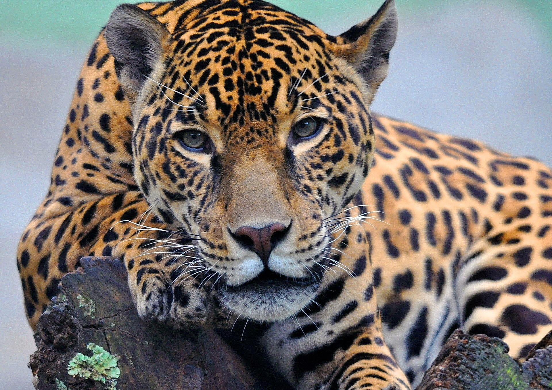 Jaguar hd wallpaper background image 1920x1357 id - Jaguar animal hd wallpapers ...