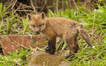 Animal - Fox Wallpapers and Backgrounds ID : 383186