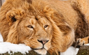 Animal - Lion Wallpapers and Backgrounds ID : 383230