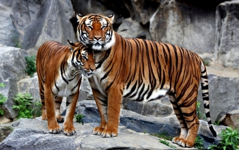 1075 Tiger HD Wallpapers | Backgrounds - Wallpaper Abyss ...