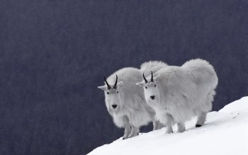 Животные - Mountain Goat Wallpapers and Backgrounds ID : 384235