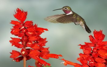 Animal - Hummingbird Wallpapers and Backgrounds ID : 385391