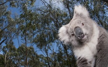 Animal - Koala Wallpapers and Backgrounds ID : 385394
