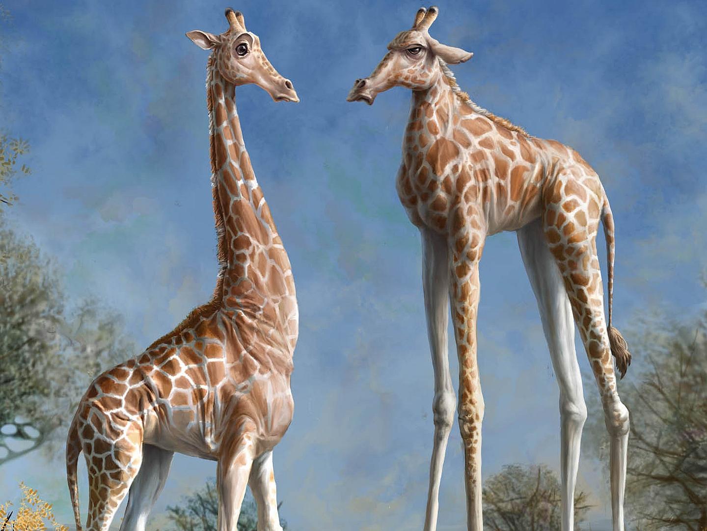 giraffe wallpaper and background 1440x1080 id386970