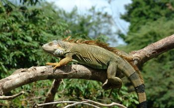 Animal - Iguana Wallpapers and Backgrounds ID : 386534