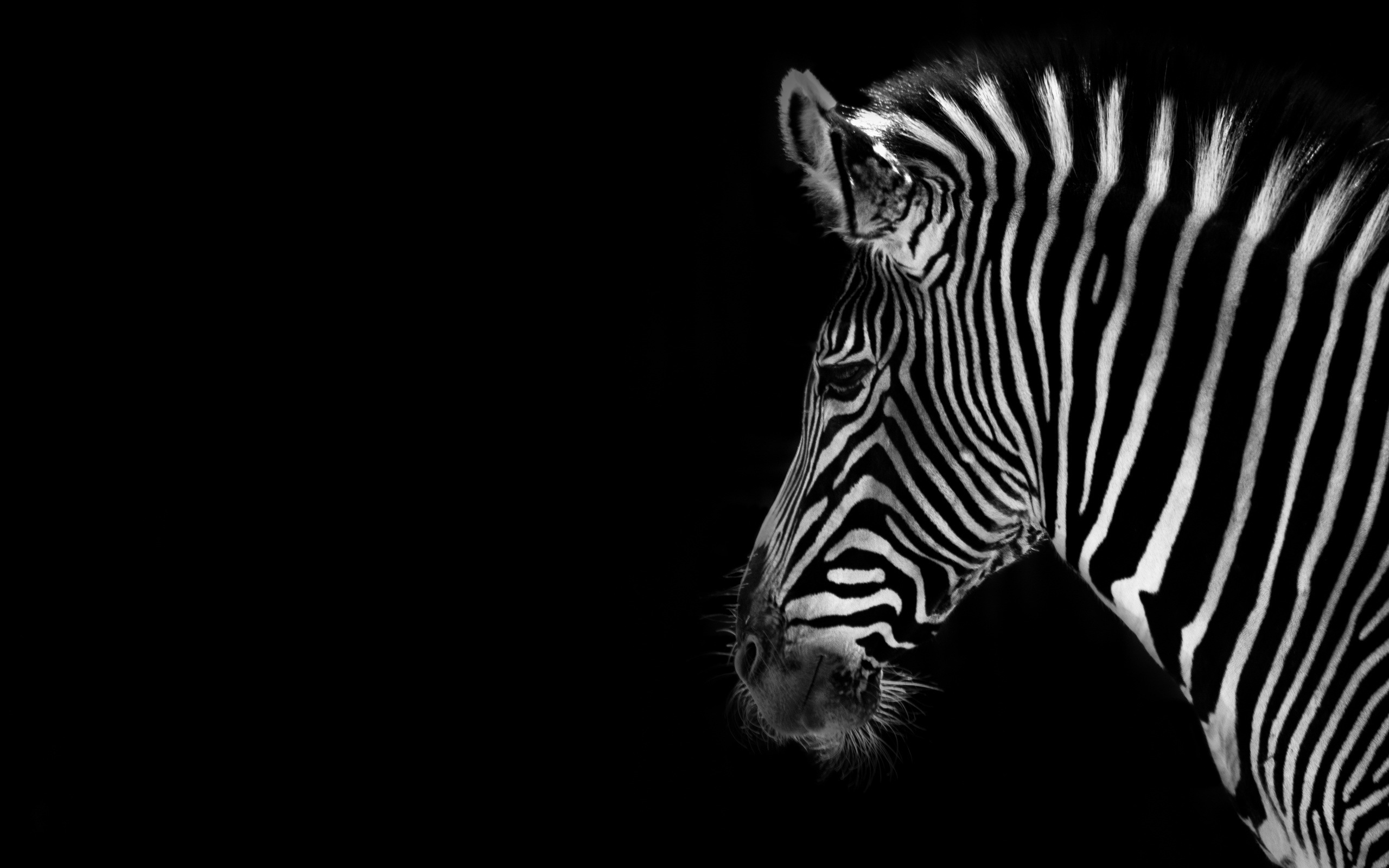 Zebra Full HD Wallpaper and Background 2560x1600 ID387127