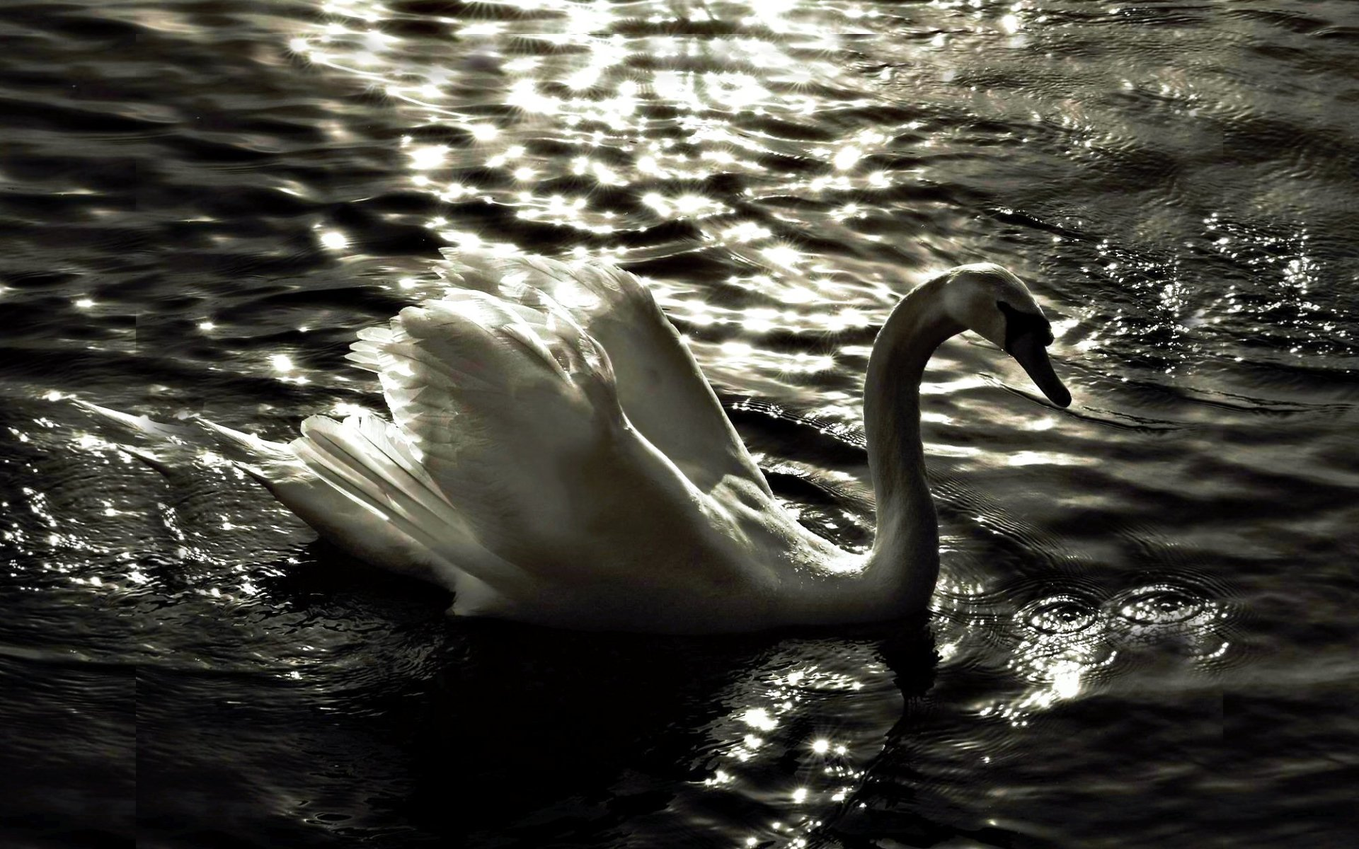 Animal - Mute swan  Bird Swan White Lake Water Reflection Animal Wallpaper