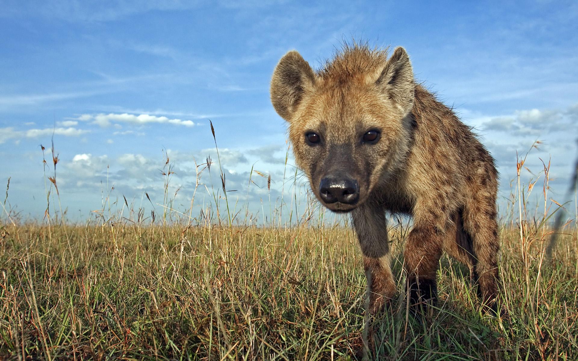 Resultado de imagen para hienas wallpaper