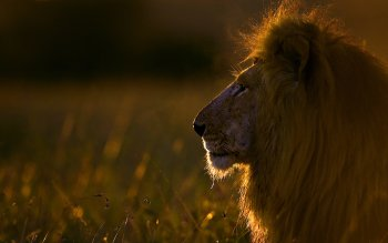 Dierenrijk - Lion Wallpapers and Backgrounds ID : 389869