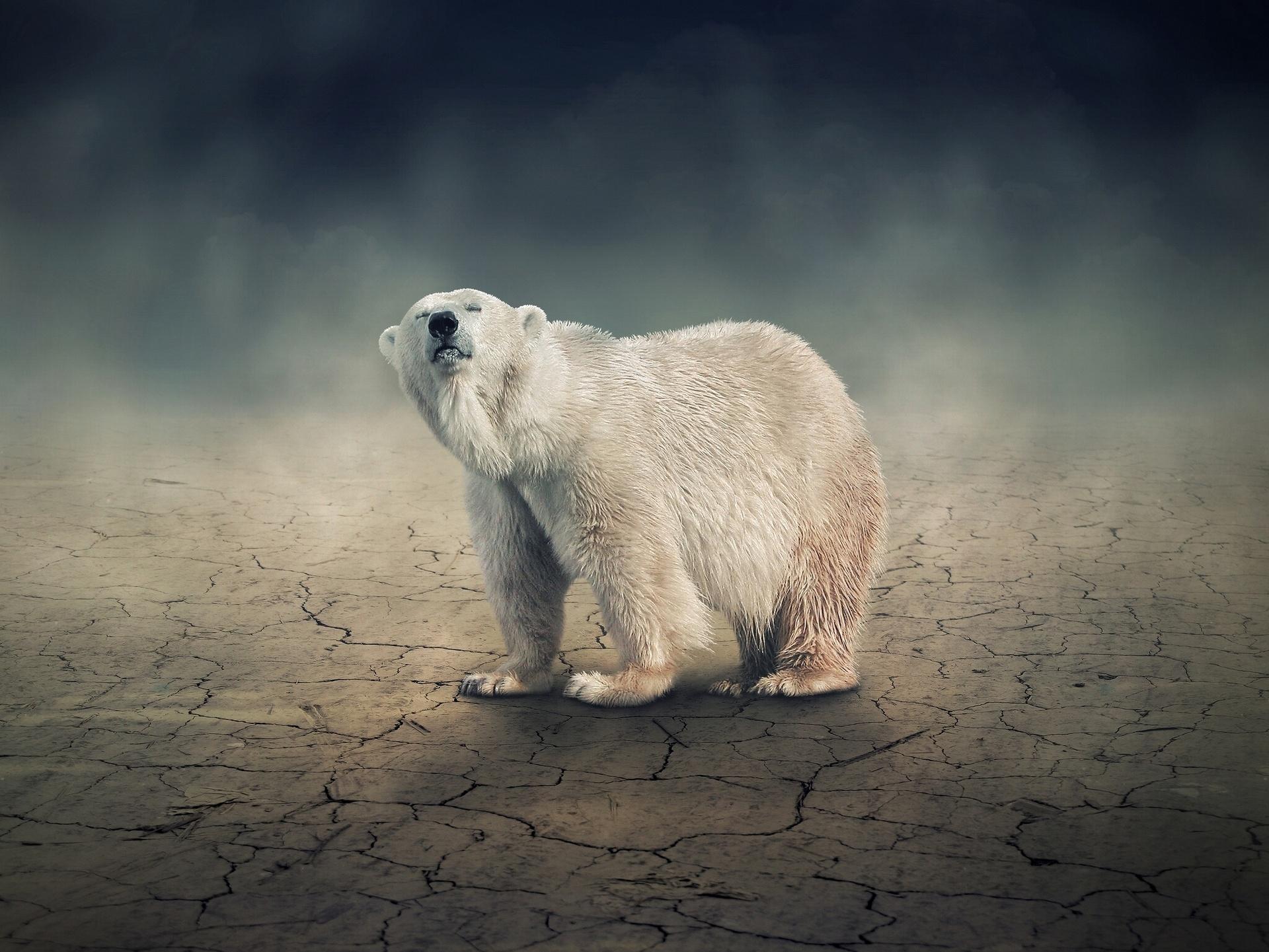 Polar Bear Hd Wallpaper Background Image 1920x1441 Id 390644