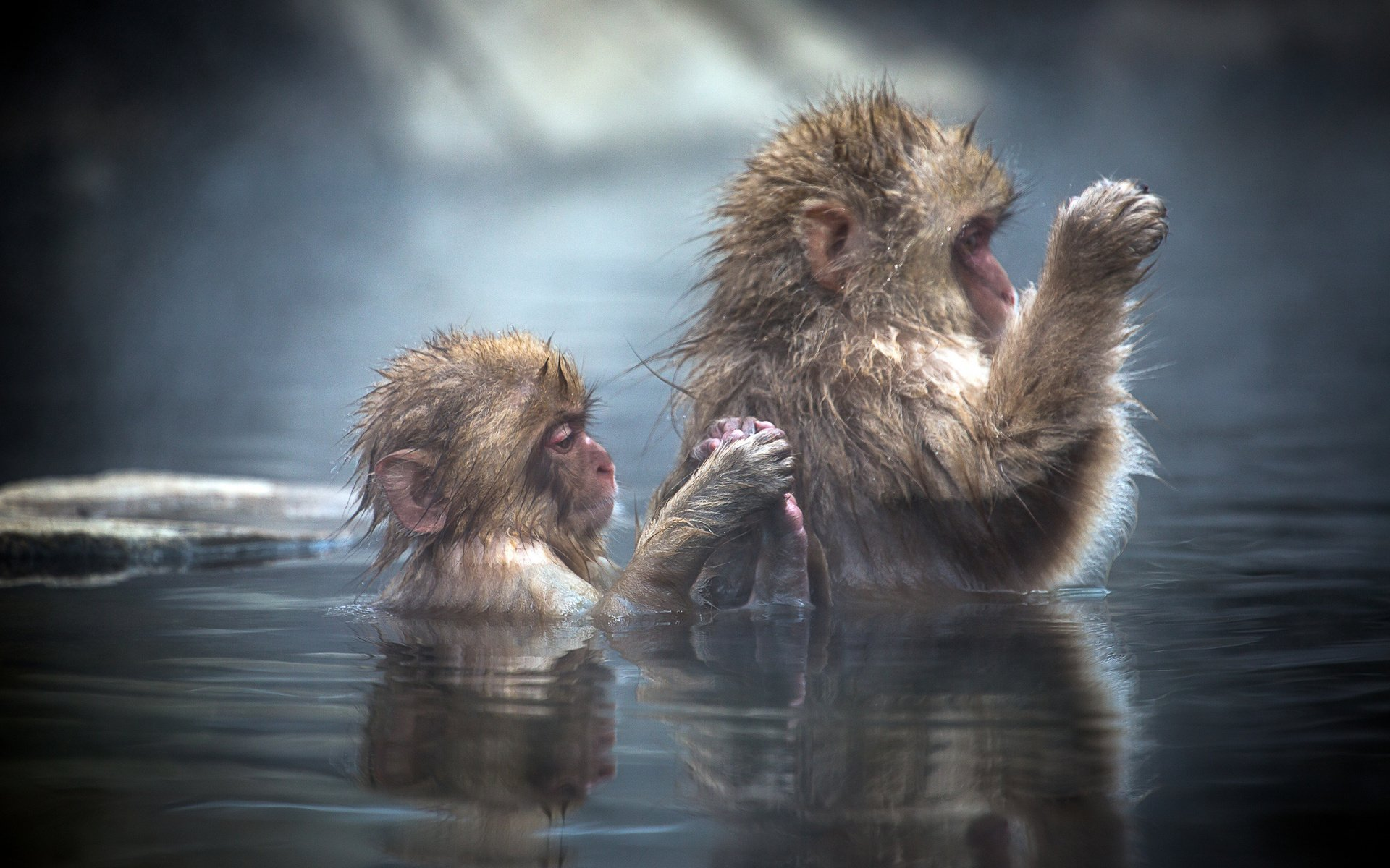Animal - Japanese Macaque  Wallpaper