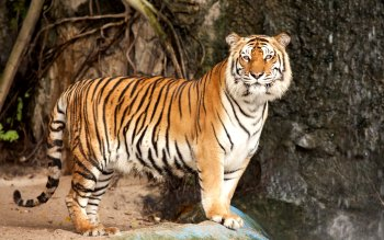 Animal - Tiger Wallpapers and Backgrounds ID : 390375