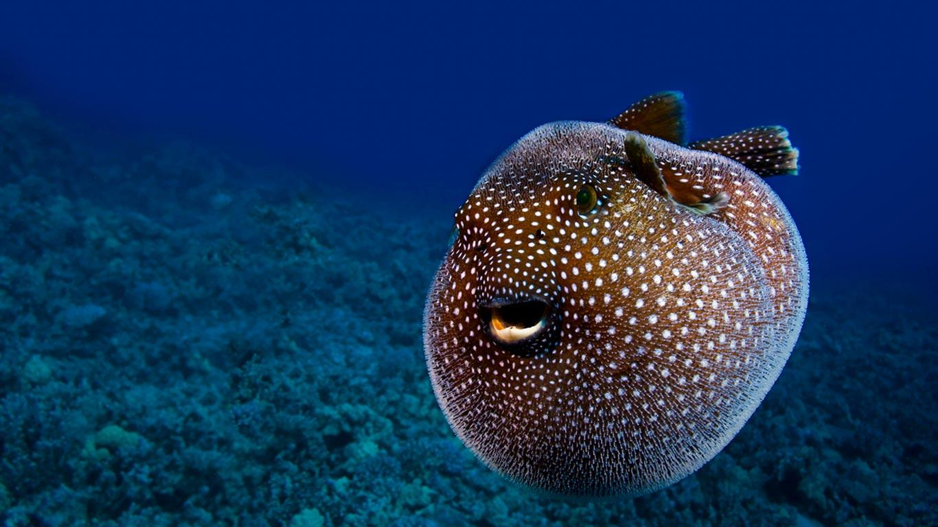 Pufferfish wallpaper and background image 1366x768 id for Pictures of puffer fish