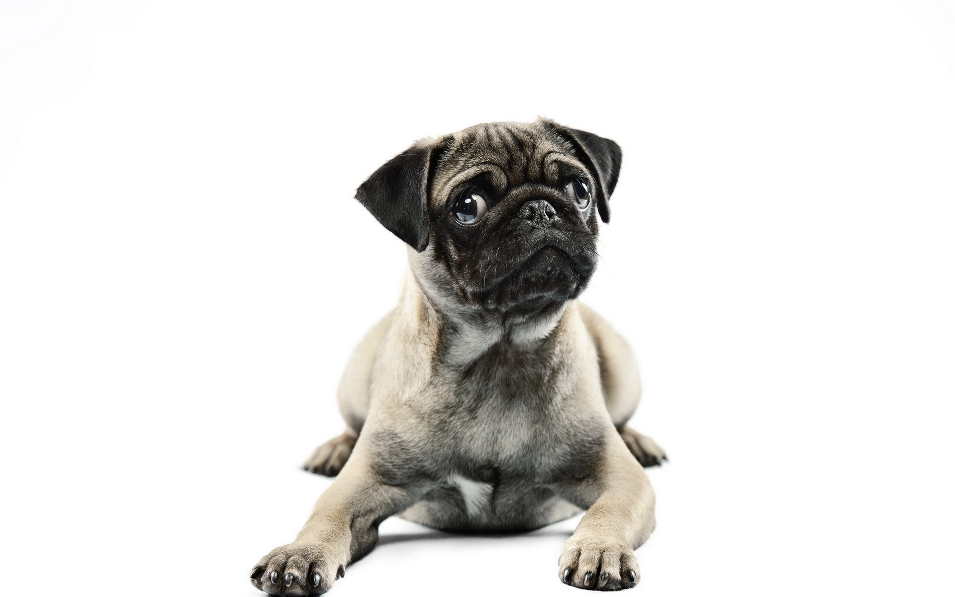 All Wallpapers Pug Dog Hd Wallpapers: Background Image