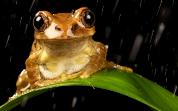 Animal - Tree Frog Wallpapers and Backgrounds ID : 391695