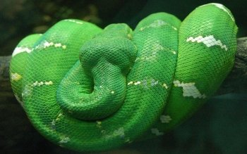 Animal - Snake Wallpapers and Backgrounds ID : 391752