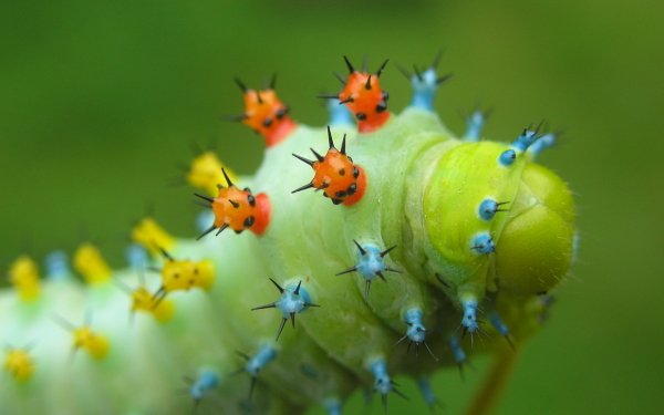 Animal Caterpillar HD Wallpaper   Background Image