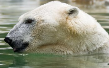 Animal - Polar Bear Wallpapers and Backgrounds ID : 392153